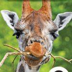 Page couverture de La girafe