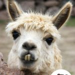 Page couverture Le lama