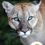 Page couverture Le puma